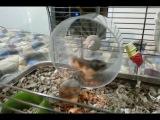 Dwarf Hamsters. Funny running | Смешные бега хомячков